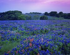 40+ Blue Lupine  Flower Seeds Texas Blue Bonnet / Lupinus / Reseeding Annual