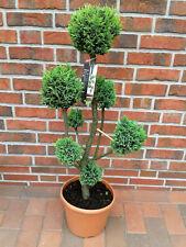 Gartenbonsai, Höhe: 100-110 cm, Chamaecyparis Ellwoodii, grün + Dünger
