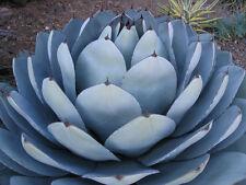 Rare Agave Parryi Truncata succulent artichoke plant exotic garden seed 50 Seeds