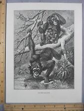 Rare Antique Original VTG Chimpanzees Babies Drink Water Illustration Art Print