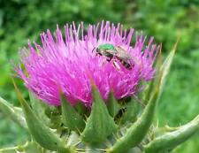 MILK THISTLE Seeds 50 ORGANIC (Silybum marianum) *A ҉ KA USA non-GMO cultivated*