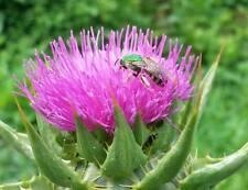 MILK THISTLE (Silybum marianum) - 50 seeds - * A  ҉  KA™ non-GMO cultivated *
