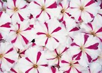 50 Pelleted Petunia Seeds Celebrity Burgundy Star Seeds