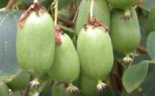 Actinidia arguta 'Issia', Female Kiwi , Cold Hardy Fruit For Your Garden.
