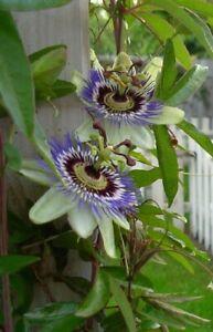 2 x Passiflora caerulea - Passionsblume -  Winterharte Pflanze  - Früchte