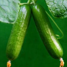 100Pcs Straight Cucumber Seeds Finest Fruit Vegetable Plant Home Garden Seeds~