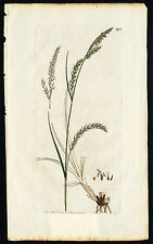 Antique Botany Print-PENDULOUS WOOD CAREX-CAREX SYLVATICA-Smith-Sowerby-1859