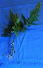 Fern Beginner Tropical Live Aquarium Plants