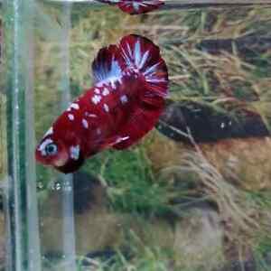 Live betta fish Koi superred galaxy / male / size:M /