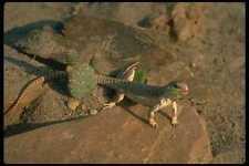 175059 Desert Iguana Lizard Eating Cactus A4 Photo Print