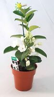 "Madagascar Jasmine Plant Stephanotis Bridal Wreath 4"" pot Fragrant white blooms"