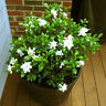 100pcs Gardenia Cape Jasmine Seeds Fragant  Beautiful White Flower Garden Decor
