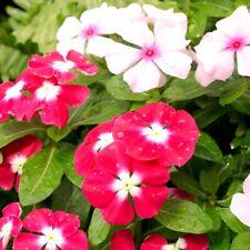 Seeds Periwinkle Vinca Rosea Mix Flower Balcony Perennail Garden Organic Ukraine