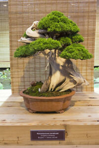 Kunstvoll gestaltete Bonsai´s werden aus dem Wacholder - Winterhart Bonsai.