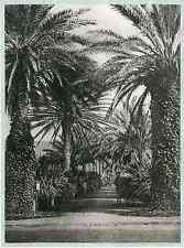 Algérie, jardin d'Essai, allée des palmiers  vintage print.  Photomécaniq