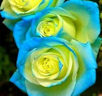10 graines de Rosier rose BLEU-JAUNE / 10x BLUE-YELLOW Rose rosebush seeds
