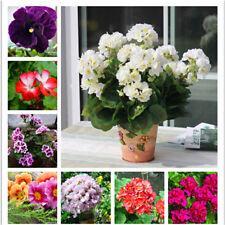 100pcs Geranium Flower Seed Bonsai Flower Seeds Perennial Pelargonium Peltatum