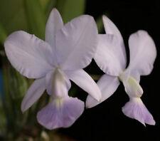 Select Species Cattleya walkeriana coerulea outcross orchid plant