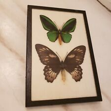 Ornithoptera priamus pair Male & Female in a frame Birdwing Stunning