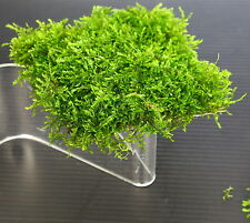 Mini South America Moss (mini) steel mesh 8x8cm - Live aquarium plants moos tank