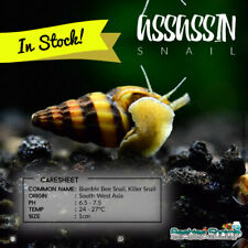 ASSASSIN SNAIL Aquatics LIVE SNAIL EATER CLEANER HELENA FISH TANK AQUARIUM UK