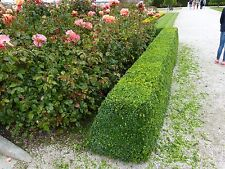 100 Common Box / Buxus Semper.  15-20cm Hedging Plants