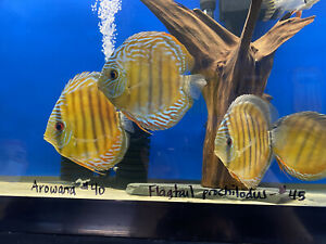 WILD CAUGHT Med/Lrg BLUE DISCUS FROM Malones Monsters!