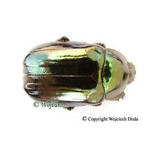 Chrysina chalcothea - male, very beautiful!