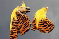2 pcs Natural Golden Complete Pheasant Head and Crest Fly Tying Feather Material