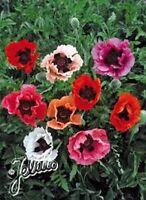 Poppy- Pizzicato Mix- 500 Seeds