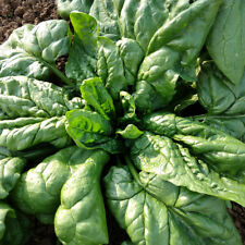 Seeds Spinach Winter Giant Water Vegetable Organic Heirloom Russian Ukraine