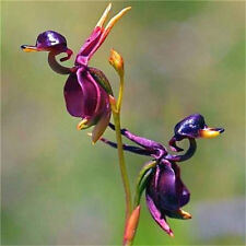 Rare New Duck Flying Orchid Flower Seeds Flower Seeds Free Ship ~10PCs~♫