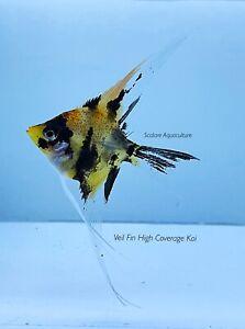 WYSIWYG Half-Dollar Sized Veil Fin High Coverage Koi Angelfish
