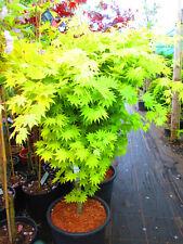 JAPANESE MAPLE Acer aureum Jordan 5ft inc. pot, 10litre size
