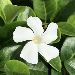 Vinca minor ' Colada ' White Periwinkle  X 3 Plug Plants for potting on