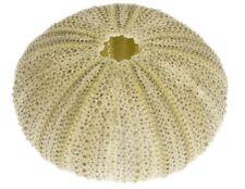 NaDeco® Seeigel Gehäuse grün ca. 5cm | Seeigelgehäuse | Lytechinus semitubercula
