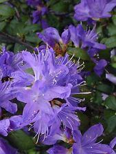 9cm Pot Dwarf Rhododendron Scintillans Deep Royal Blue Evergreen Shrub Plant