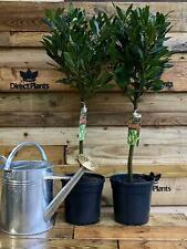 1x Large Laurus Nobilis Standard Bay Tree 90-100cm Supplied in a 5 Litre Pot