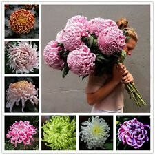 200 Pcs/Pack Chinese Rare Perennial Flower Seeds Chrysanthemum Plant Mix Color
