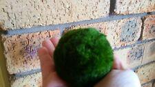 2 X   Marimo Large size  Moss Balls approx 6cm AUS SELLER