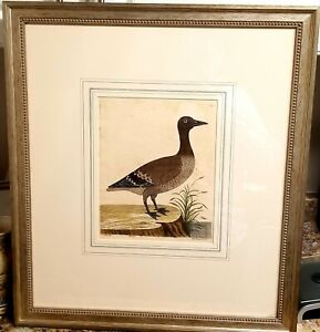 Antique 18th Century Eleazar Albin Natural History Of Birds Hand Colored Etching