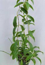 Hoya cholrantha [B29J1],1 pot rooted plant20-22 inchesUnique!