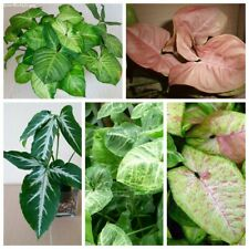 50Pcs Syngonium Flower Seeds 10 Kinds Fragrant Beautiful Perennial Garden Plants