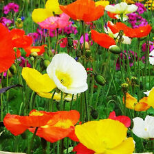 Colorful Corn Poppy Seed 100 Seeds Iceland Papaver Rhoeas Flower Garden Hot A098