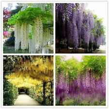 10 Seeds Wisteria Flowers Tree Bonsai Plants Beautiful Decoration in Home Garden