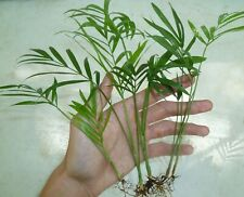 5 Parlor Palm Seedlings - House Plant Lawn Garden Evergreen Tropical Tree