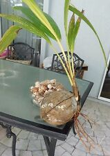 1 live Coconut Palm Tree sprouted Seed Cocos Nucifera ready to plant FLORIDA