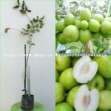 "60cm Grafted Plant Thai Jujube tree Large fruit size ""Milk-Jujube"" New variety"