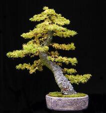 Japanese Larch, Larix leptolepis, (Larix kaempferi) Tree Seeds, (Fall Color)