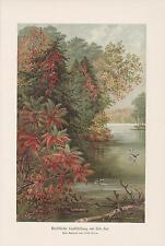Herbstliche Laubfärbung am Erie-See Indian Summer LITHOGRAPHIE von 1898 Botanik